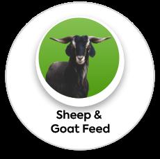 sheep calf feed