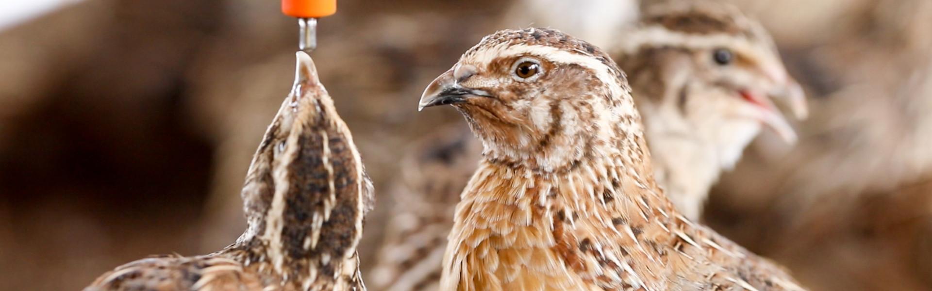 quail-feed